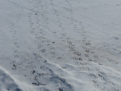 Canada Goose - tracks & trail