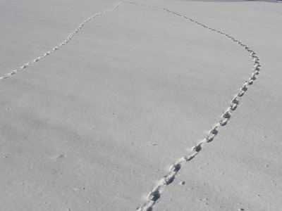 Canada Goose - tracks and trail