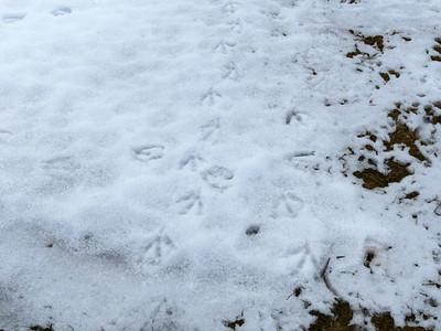 Canada Goose - tracks