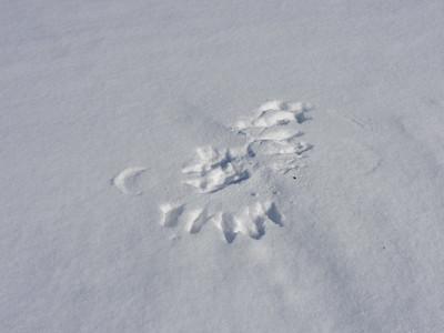 Common Raven - tracks