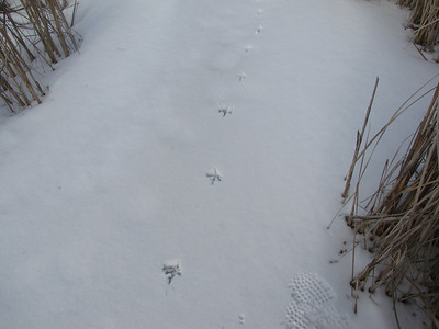 Ring-necked Pheasant - trail in shallow snow over ice and close to cattail marsh