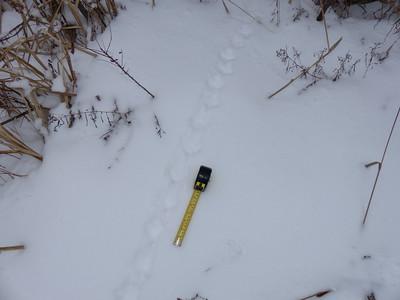 Ruffed Grouse - tracks and trail