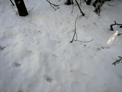 Ruffed Grouse - tracks