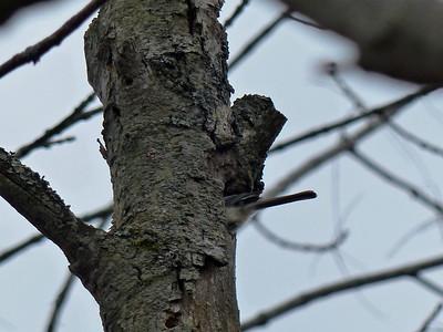 Black-capped Chickadee - building nest cavity