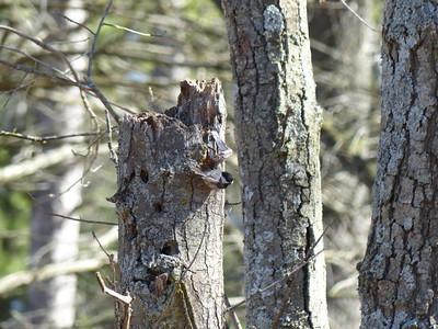 Black-capped Chickadee - nesting cavity with Chickadee at entrance