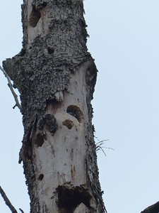 Red-breasted Nuthatch - cavity shown near photo center and with the Nuthatch seen poking its head out to watch us