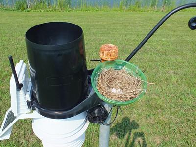 Eastern Kingbird - nest and eggs