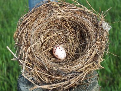 Eastern Kingbird - nest and egg