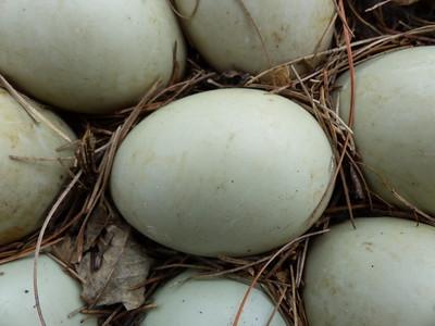 Mallard - eggs
