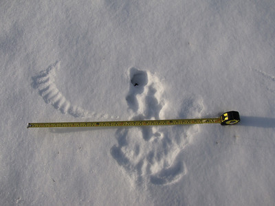 Red-tailed Hawk - tracks and feather marks