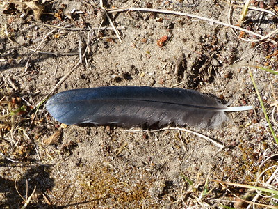 Common Grackle - feather (length 9.6 cm)