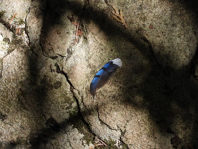 Blue Jay - feather (wing covert)