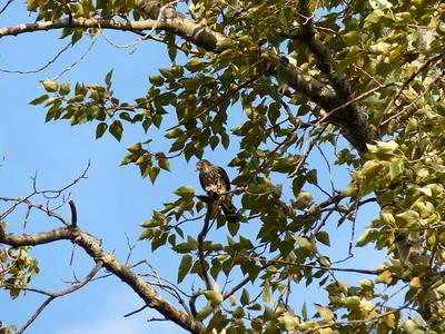 Merlin - with prey, a small bird (species?)