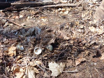 Mallard - egg predation by Raccoon