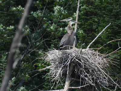 Great Blue Heron - rookery