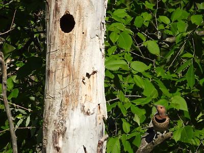 Northern Flicker (female) - tree cavity nest