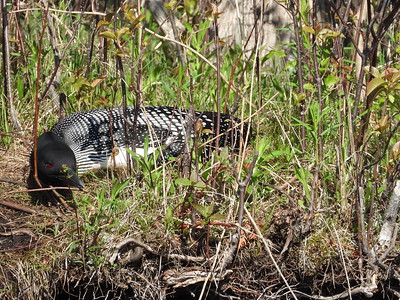 Common Loon - on nest