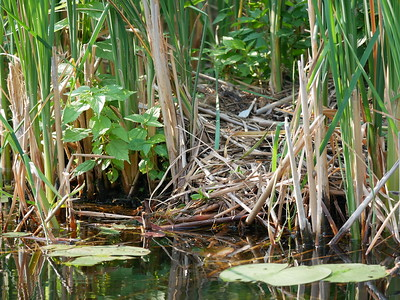Common Loon - nest