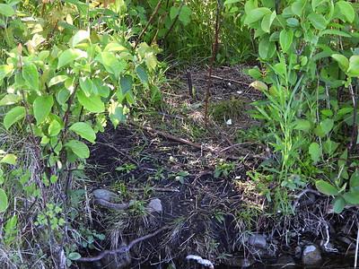Common Loon - nest