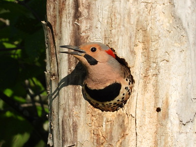 Northern Flicker (male) - tree cavity nest