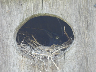 Common Grackle - nest