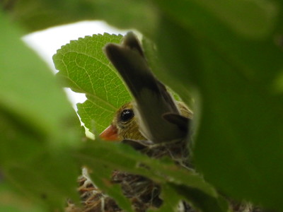 American Goldfinch - nest