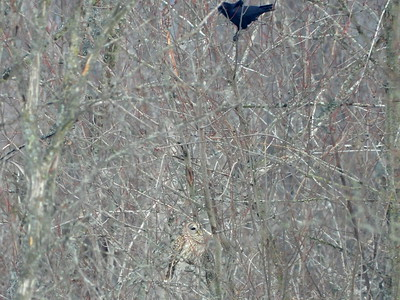 Barred Owl - being harassed by American Crow