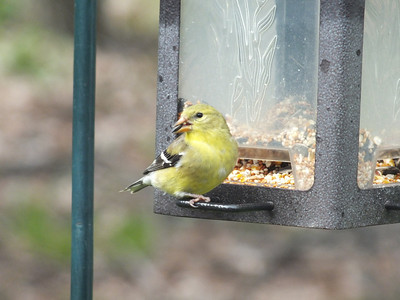 American Goldfinch - female