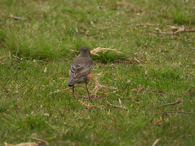 American Robin - collecting nest materials