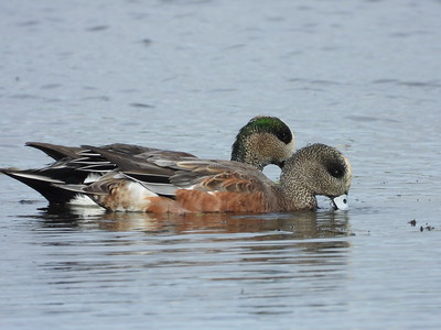 American Wigeon - males
