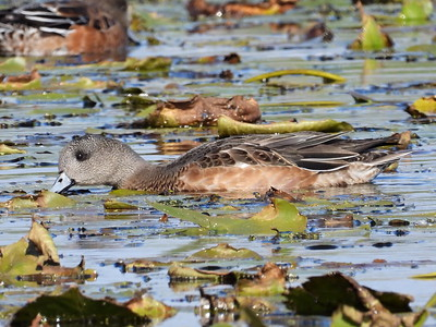 American Wigeon - juvenile or female?