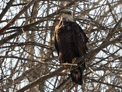 Bald Eagle - juvenile (3rd year?)