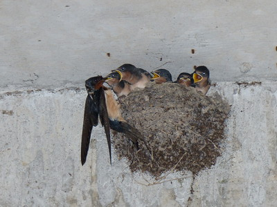 Barn Swallow - nest and nestlings, adult on left feeding the young