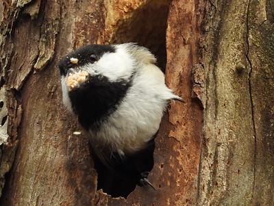 Black-capped Chickadee - nest building