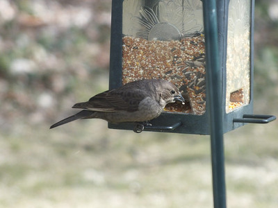 Brown-headed Cowbird - female
