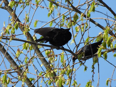 Brown-headed Cowbird - males