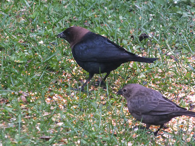 Brown-headed Cowbird - male (left) female (right)