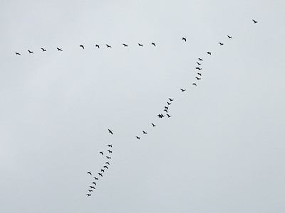 Canada Goose - high altitude flock in classic V formation