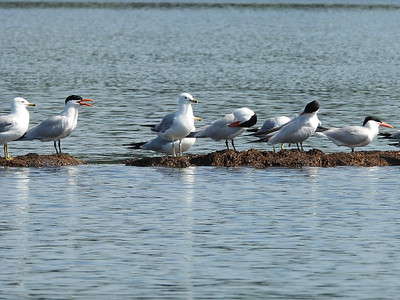 Caspian Terns (and some Ring-billed Gulls)