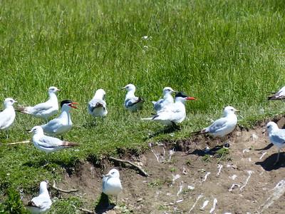 Caspian Tern and Ring-billed Gull