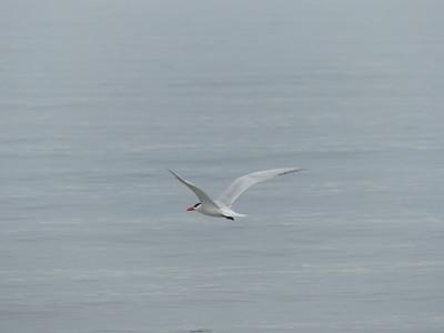 Caspian Tern heading out to Lake Ontario