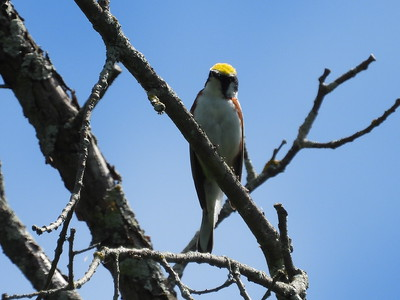 Chestnut-sided Warbler - male