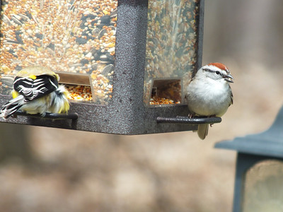 Chipping Sparrow - on right of photo