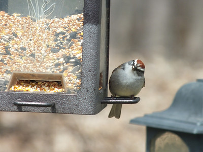 Chipping Sparrow - huh?