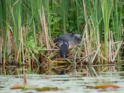 Common Loon on the nest