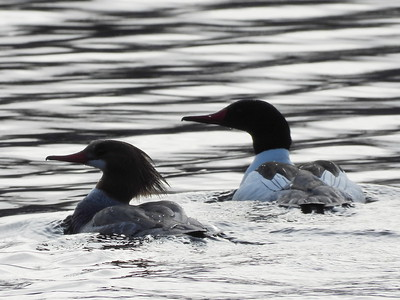 Common Merganser - female & male