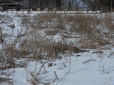 Common Redpoll - part of flock 80+ birds, feeding on seeds in field