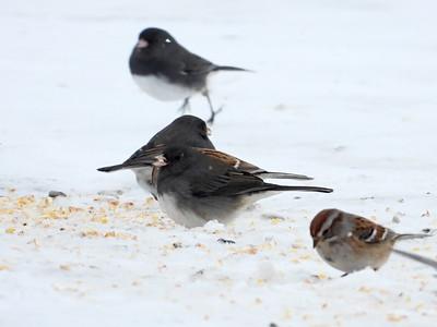 Dark-eyed Junco (& American Tree Sparrow)