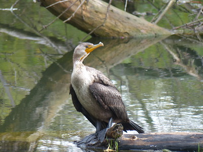 Double-crested Cormorant - juvenile