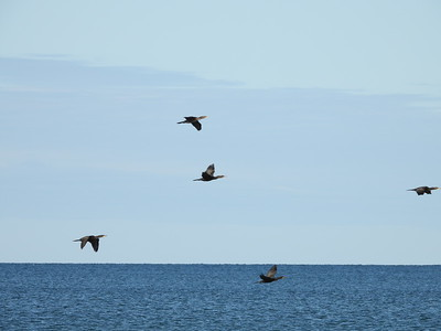Double-crested Cormorant - several flocks flying over Lake Ontario